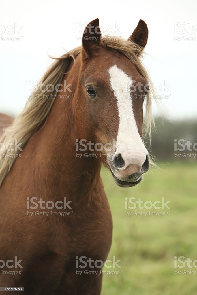 Portrait of welsh pony royalty-free stock photo