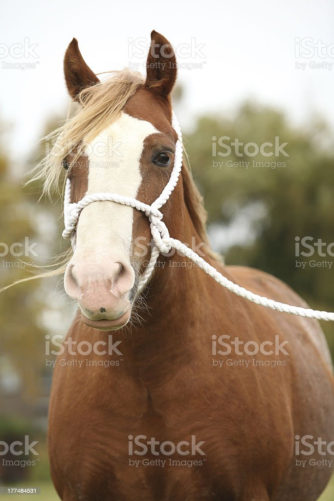 Portrait of welsh pony with white rope show halter royalty-free stock photo