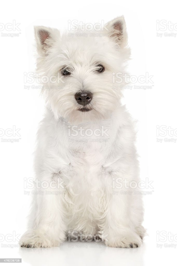Portrait of West Highland White terrier stock photo