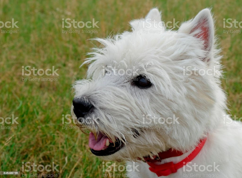 Portrait of west highland white terrier. stock photo