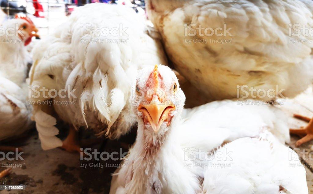 portrait of white albino broiler chicken in cage in butcher shop stock photo
