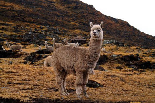 portrait of white alpaca in front of a rocky hill - alpaca fotografías e imágenes de stock