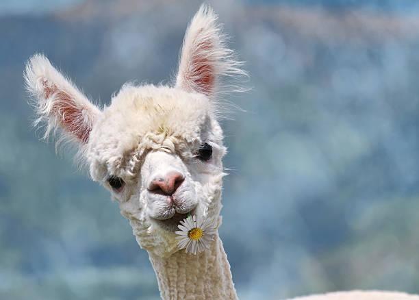 Portrait of white alpaca stock photo