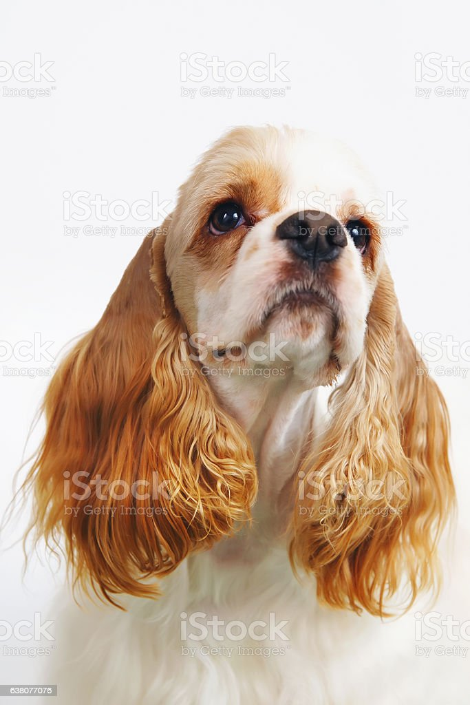 Portrait of white and red American Cocker Spaniel dog indoors stock photo