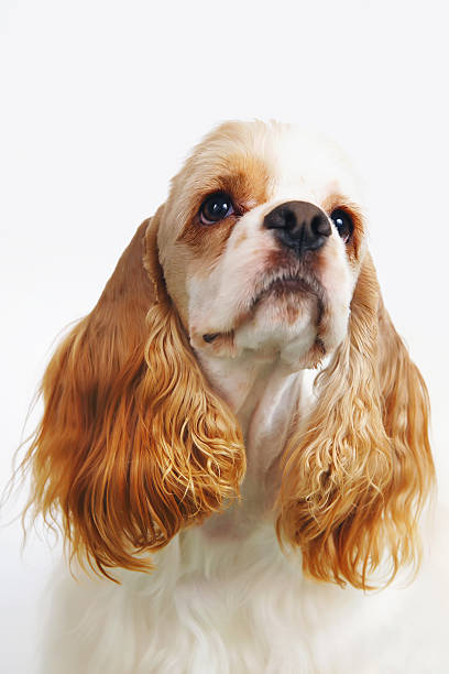 portrait of white and red american cocker spaniel dog indoors - amerikanischer cocker spaniel stock-fotos und bilder