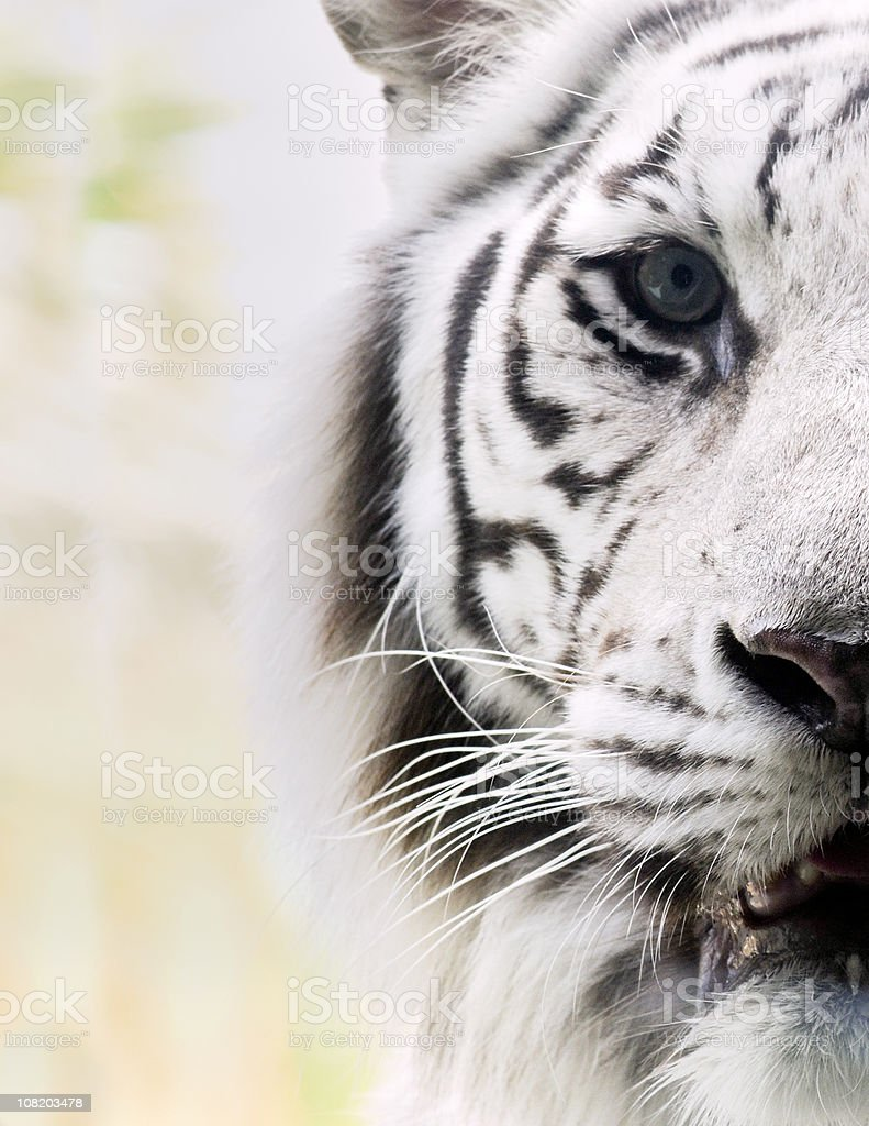 Portrait of White Bengal Tiger stock photo