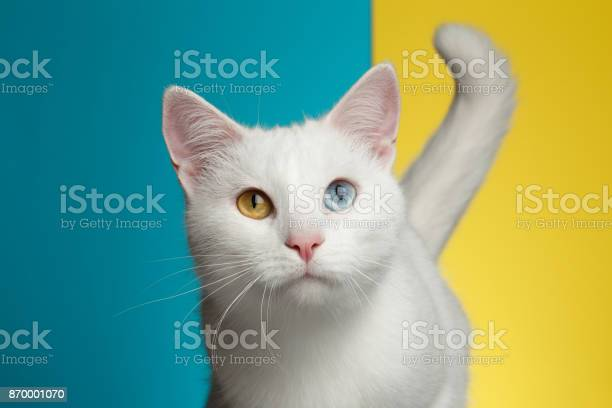 Portrait of white cat on blue and yellow background picture id870001070?b=1&k=6&m=870001070&s=612x612&h=dxhcqt6qqlc2iatvv2oxcva6g v3x8hlcgle641bofg=