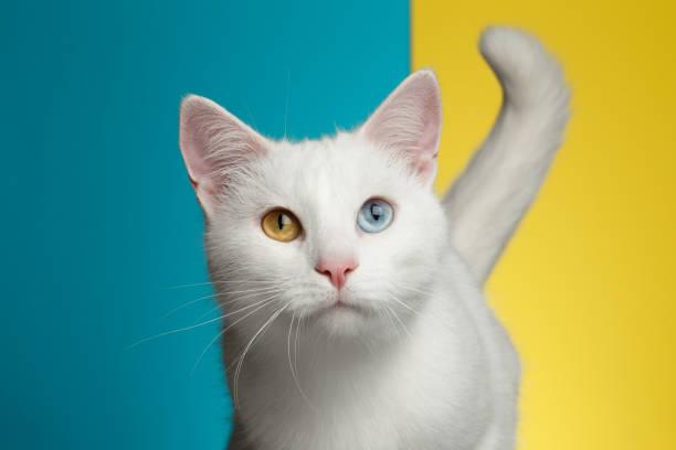portrait of white cat on blue and yellow background - котик яркий стоковые фото и изображения