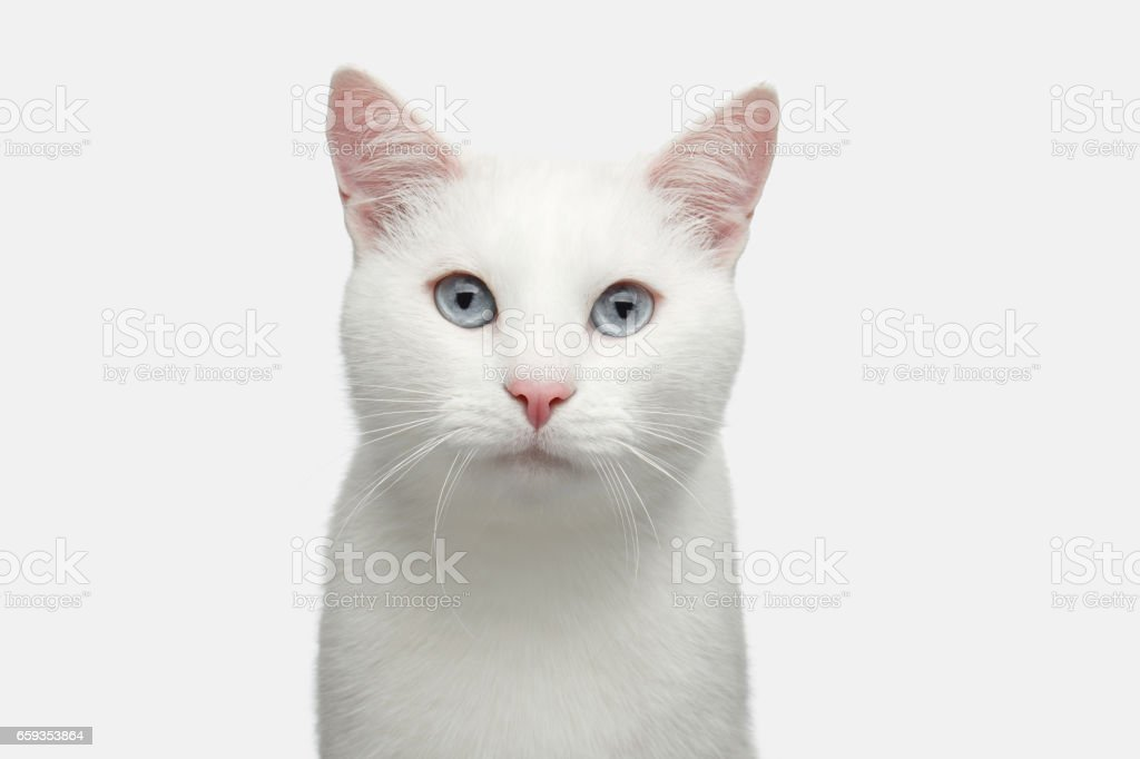 Portrait of White Cat on Isolated Background stock photo