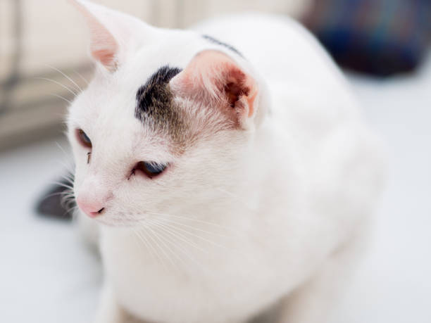 Portrait of White Cat stock photo