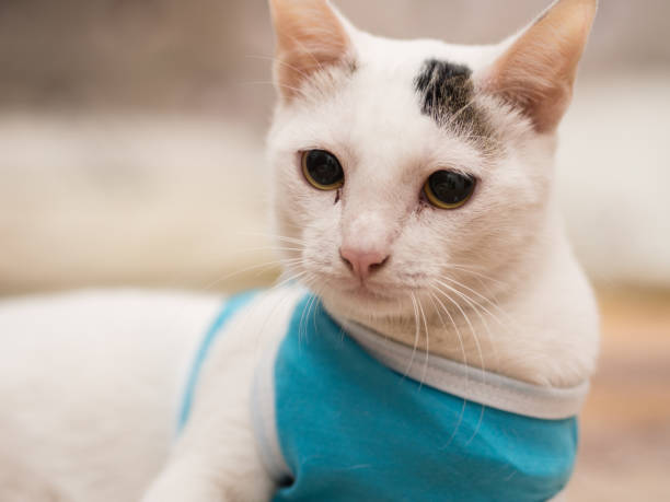 Portrait of White Cat with Blue Shirt stock photo