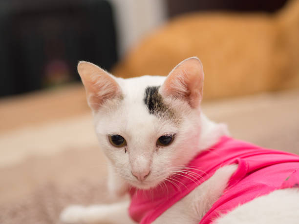 Portrait of White Cat with Pink Shirt stock photo