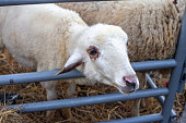 Close up portrait of white cute sheep eating hay behind metal fence at farm