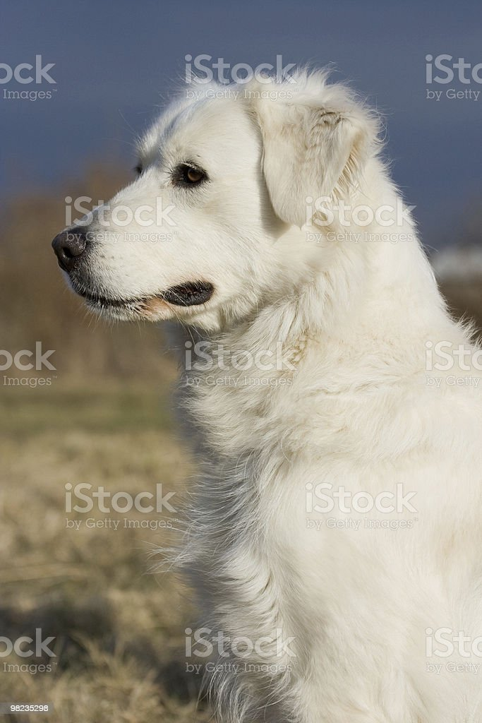 Portrait of white dog royalty-free stock photo