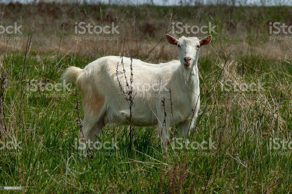 Portrait of white goat on the mountain  meadow, mountain Plana stock photo