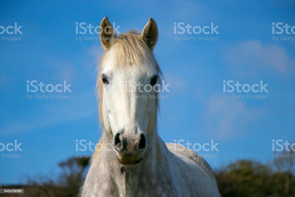 Portrait of white horse against blue sky stock photo
