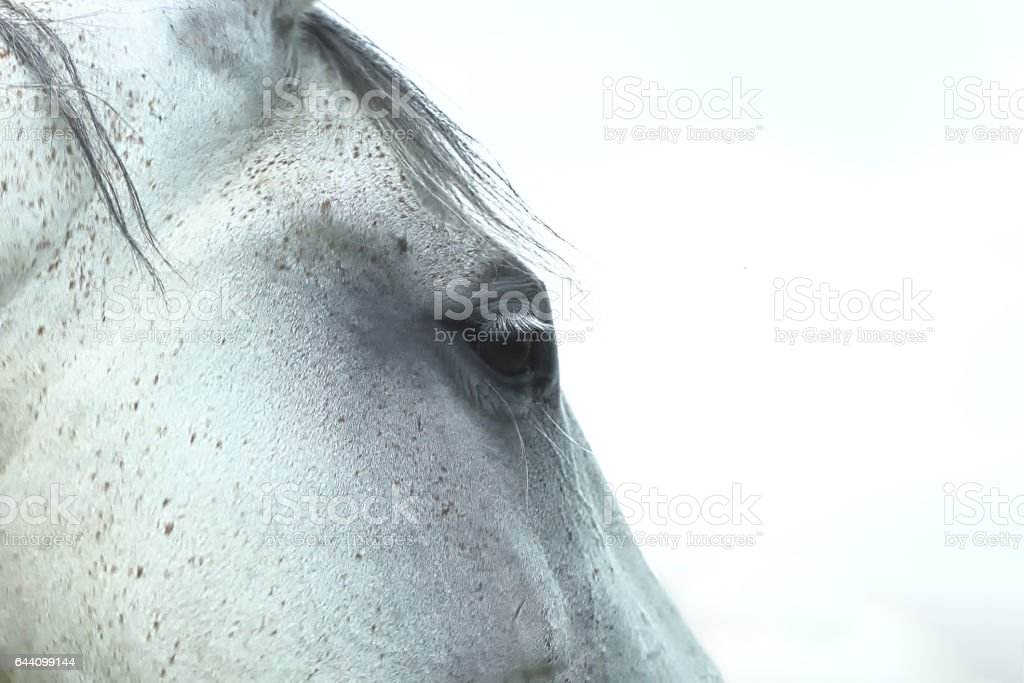 Portrait of white horse stock photo