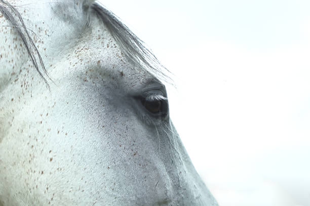 Portrait of white horse Great and strong animals. Because of all dots he has, he remainds me of Pippy Longstocking. Isn`t he funny? It could be even her :) Lovely animals. arabian horse stock pictures, royalty-free photos & images