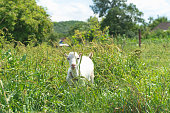 Recently borned baby goat grazing in high green grass countryside landscape in Ukraine, rooftop of village houses on background. Kid is very small and funny. Color image, rural scene, horizontal image