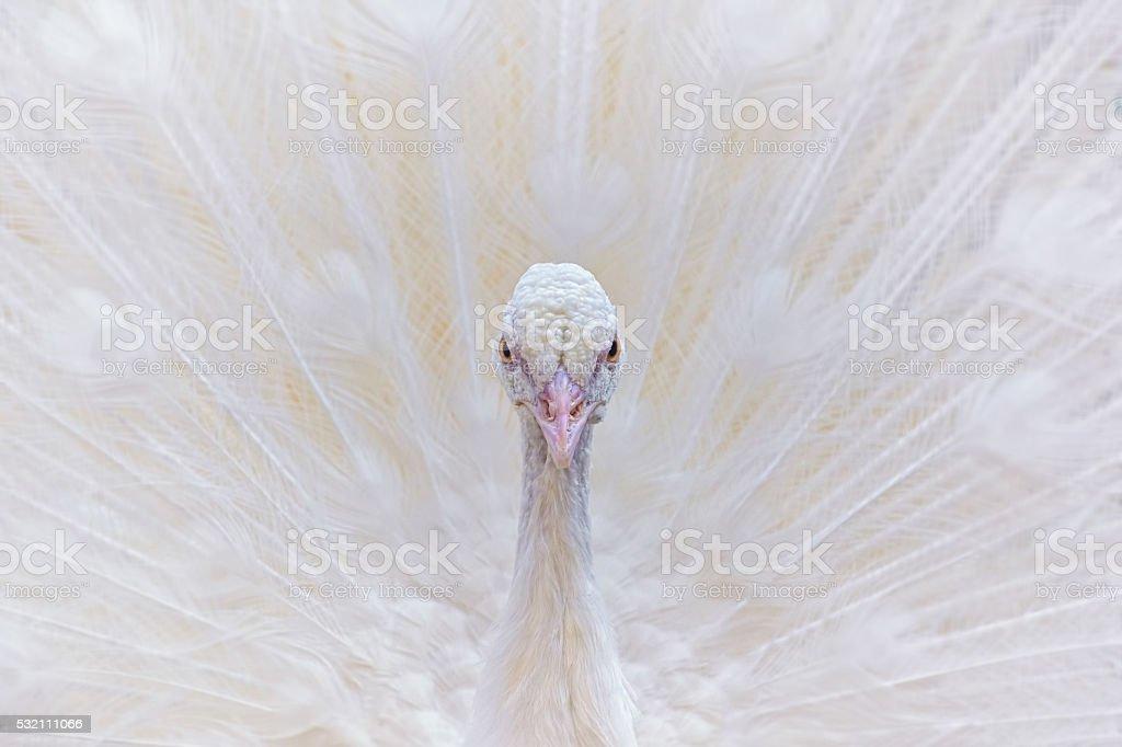 Portrait of White Peacock stock photo