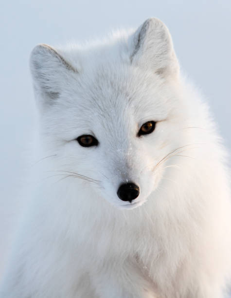 retrato de raposa polar branco - raposa ártica imagens e fotografias de stock