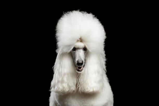 Portrait of white royal poodle dog isolated on black background picture id681427890?b=1&k=6&m=681427890&s=612x612&w=0&h=h5k2lzieix4zbqwybdbm5lsyi i9mneejtp821sk7ok=