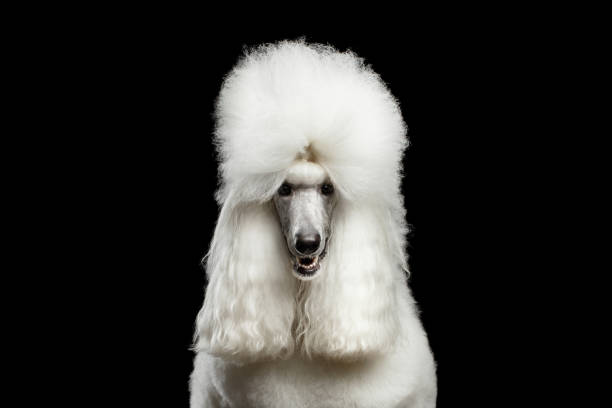 Portrait of White Royal Poodle Dog Isolated on Black Background Portrait of White Royal Poodle Dog Looking in Camera Isolated on Black Background, front view poodle stock pictures, royalty-free photos & images