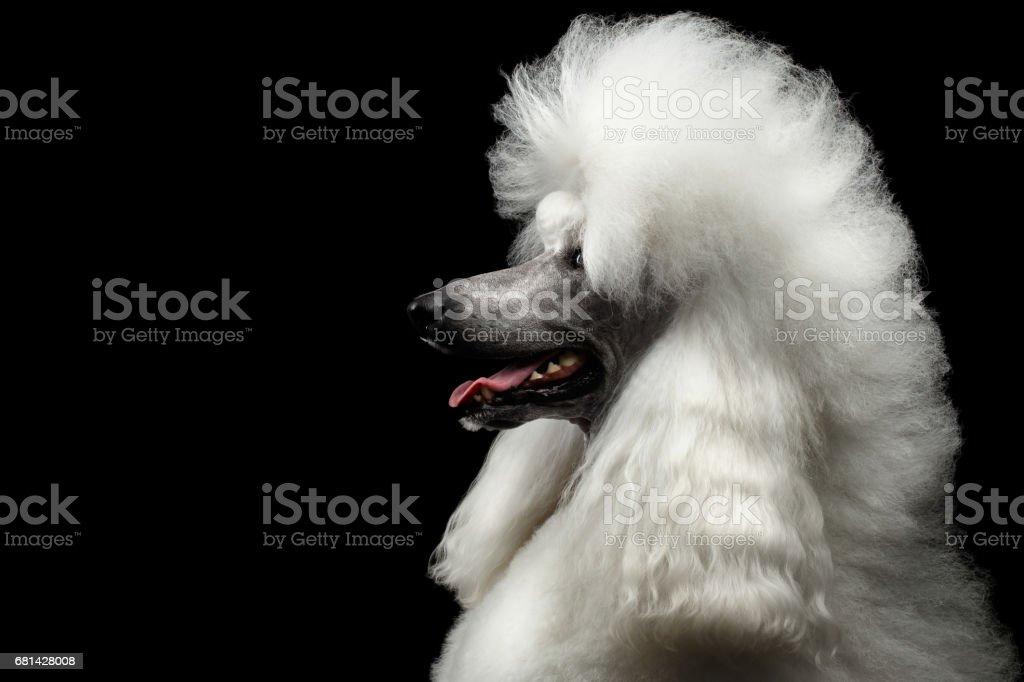 Retrato de cachorro Poodle branco de Royal isolado no fundo preto foto royalty-free