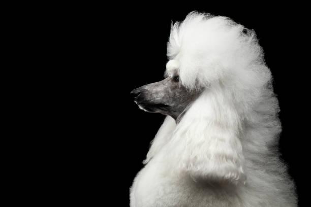 Portrait de chien caniche Royal blanc isolé sur fond noir - Photo