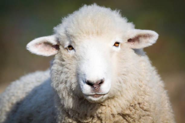Portrait of white sheep. Farm animal. stock photo