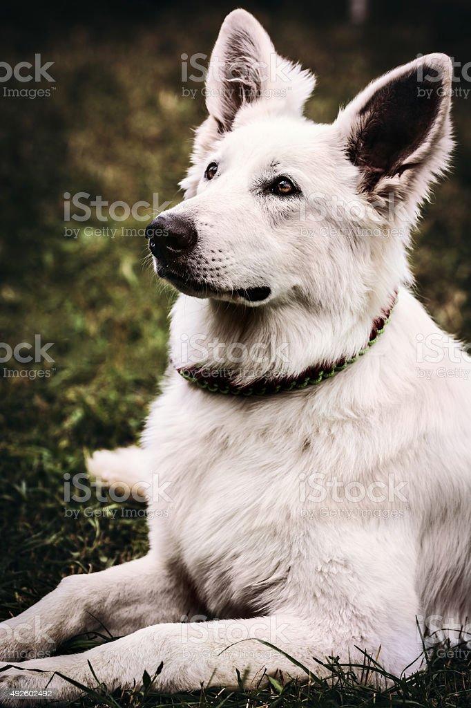 Portrait of White Shepherd dog - retro styled stock photo