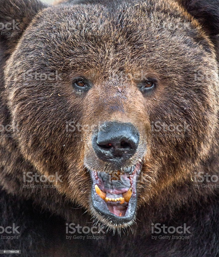 Portrait of wild adult male brown bear stock photo
