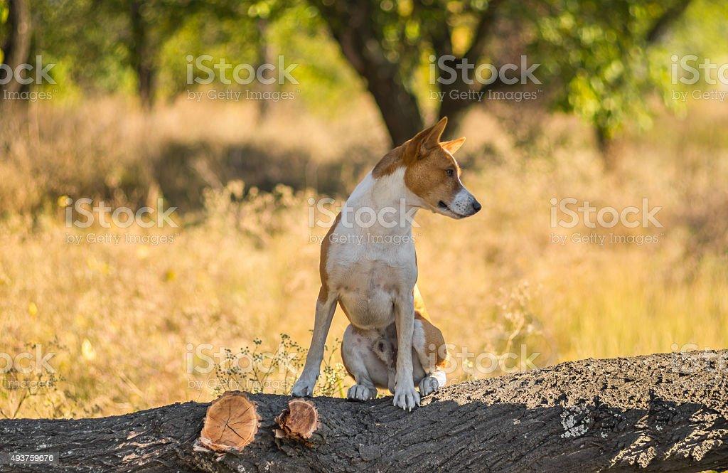 Portrait of wild Basenji dog on the tree branch stock photo