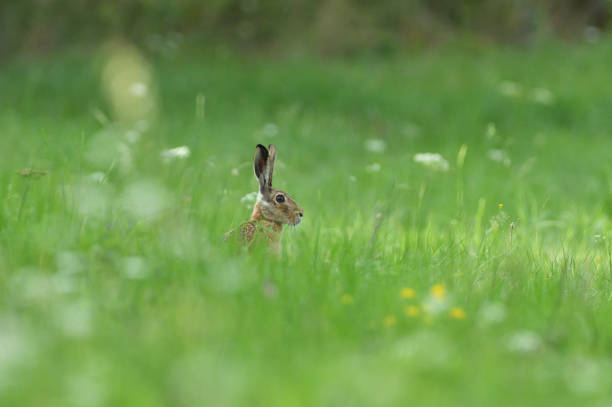 Portrait of wild brown hare head lurking from the grass stock photo