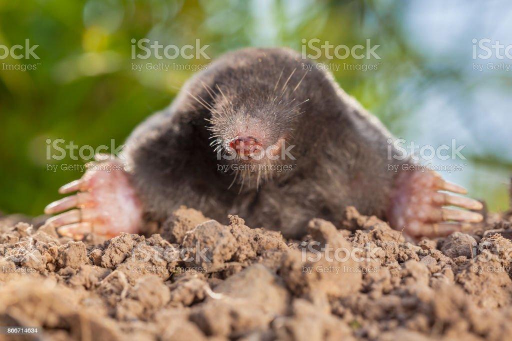 Portrait of Wild Mole on a Molehill stock photo