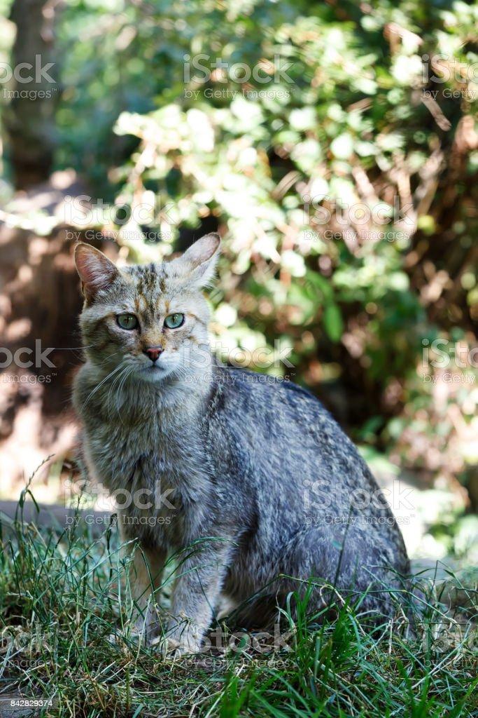 portrait of wildcat (Felis silvestris) stock photo