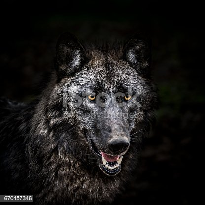 Portrait of a gray wolf in the forest. It seems that looking at the camera, but it is completely relaxed, unaware of human presence.