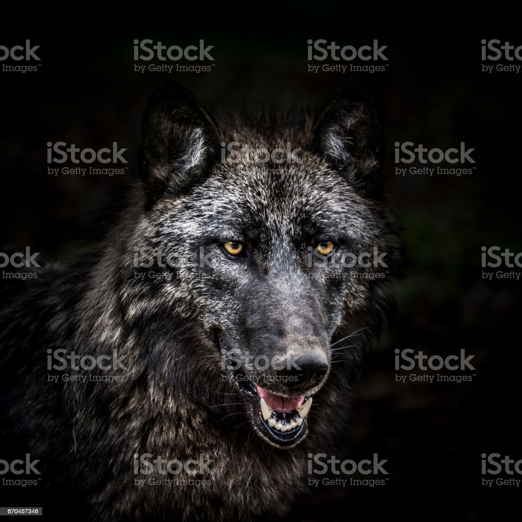 Portrait of wolf in forest stock photo