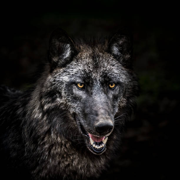 portrait of wolf in forest - lupo foto e immagini stock