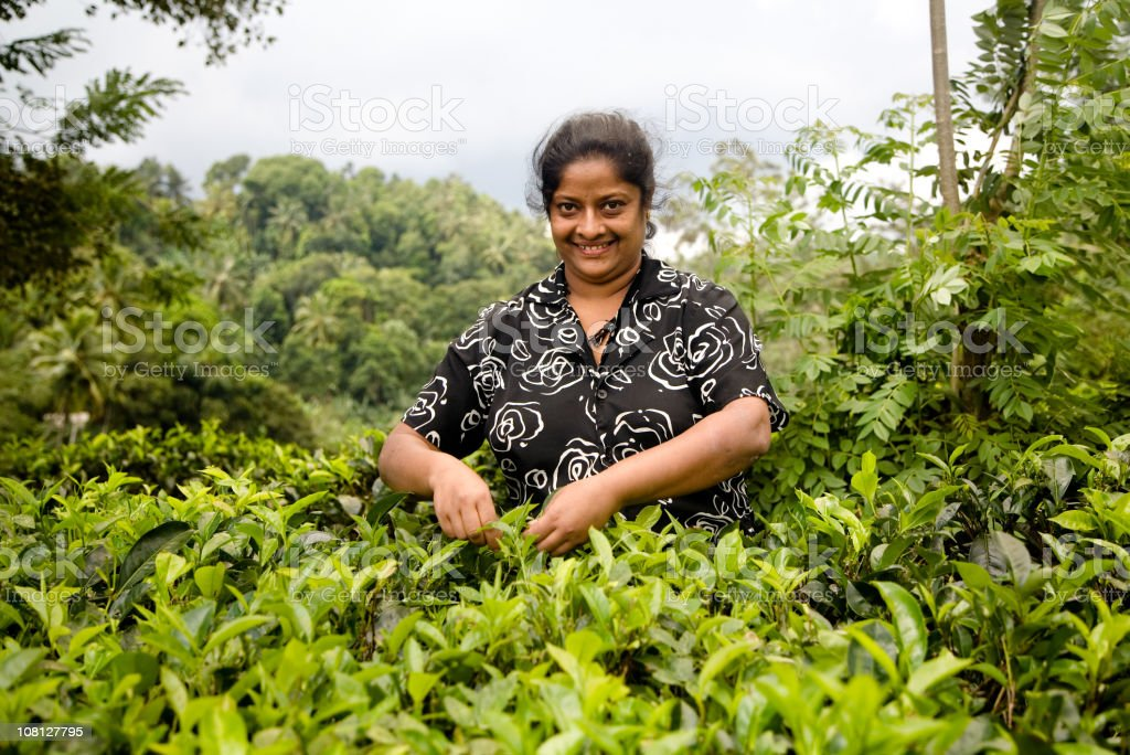Portrait of Woman Picking Tea Leaves royalty-free stock photo
