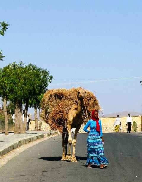 portrait of woman with camel transporting hay and firewood, keren, eritrea - eritrea stock photos and pictures
