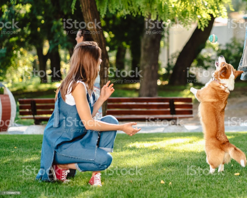 Training - girl and dog corgi walking in the park. The dog is...