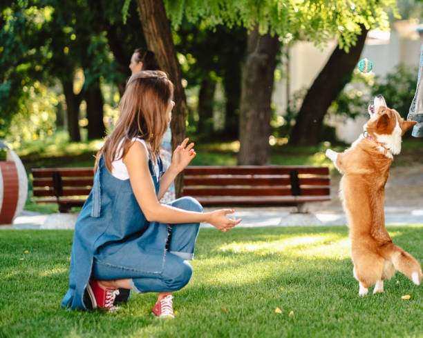 Portrait of woman with dog Welsh Corgi Pembroke in dog park stock photo