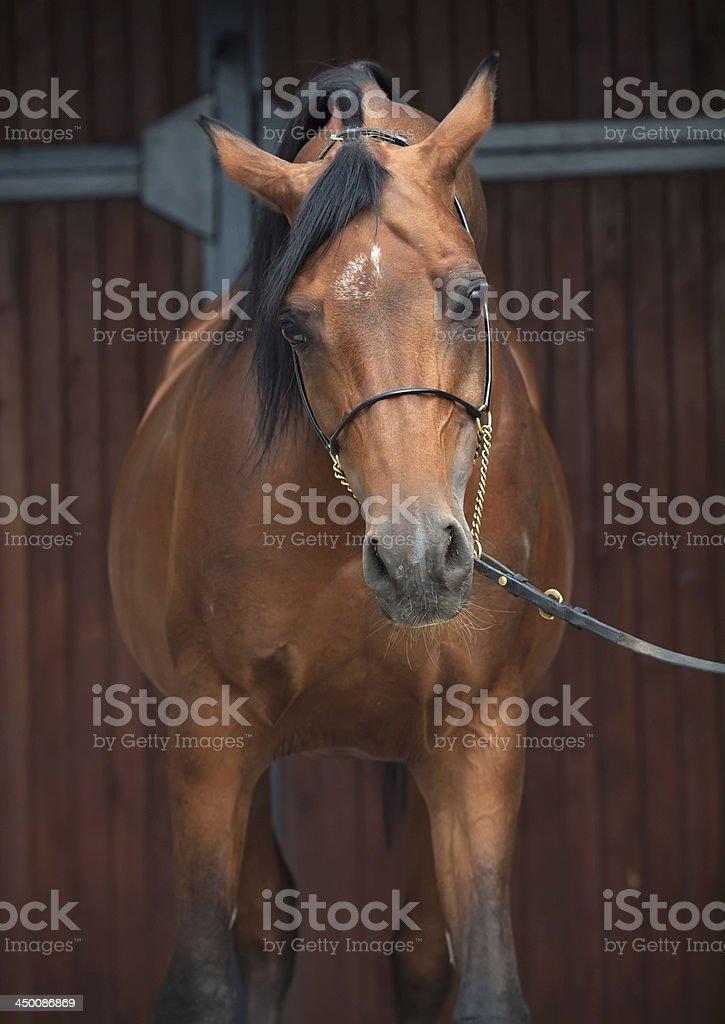 Portrait Of Wonderful Bay Arabian Horse Stock Photo Download Image Now Istock