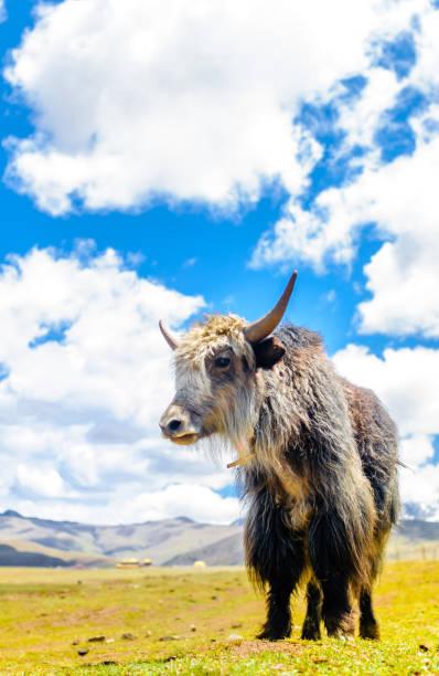 yak portresi sichuan eyaleti - ganzi tibet özerk bölgesi stok fotoğraflar ve resimler