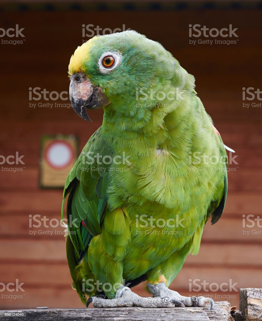 Portrait of yellow crowned amazon, close up, full body. stock photo