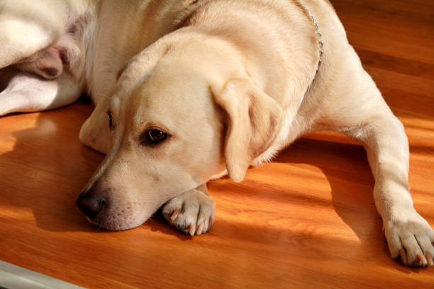 Portrait of yellow labrador dog laying, resting and posing for photo shoot on wooden floor enjoys on warm sunlight. labrador retriever is cute pet for the family with baby. Lovely dog, pretty, pet. stock photo