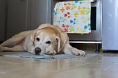 Beautiful Labrador retriever dog sleeping at the kitchen floor