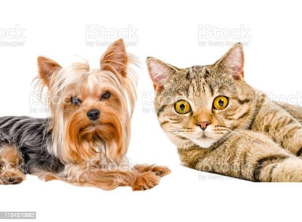 Portrait of yorkshire terrier and cat scottish straight picture id1154370862?b=1&k=6&m=1154370862&s=612x612&h=rzqnskbdsvxqqz5nqt4odlz1bcog55lgpxo51putnmy=