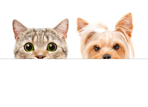 istock Portrait of  Yorkshire terrier and Scottish Straight cat peeking from behind a banner 1139896087